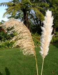 pampas-toetoe compared